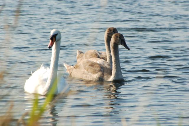 05 swan and cygnets